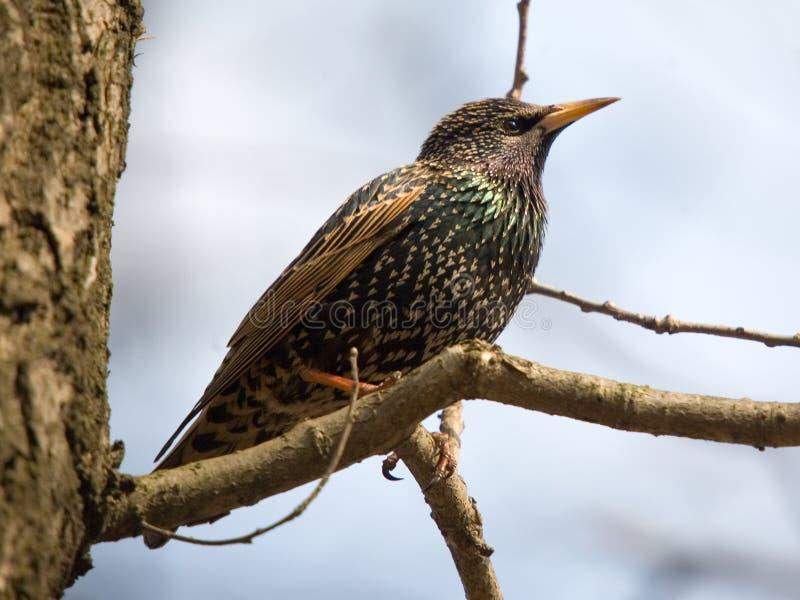 starling 免版税库存图片