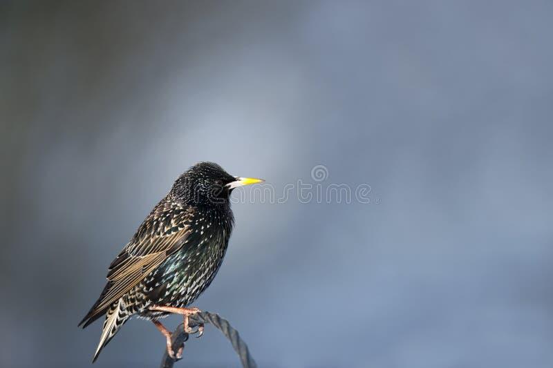 Download Starling stock photo. Image of birds, nature, beak, wildlife - 23657266
