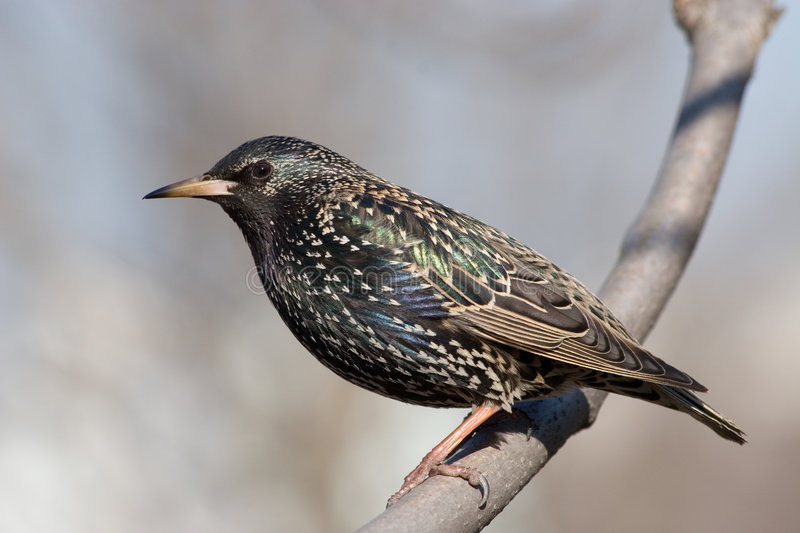 Starling. A bird (Starling) is siting on a branch