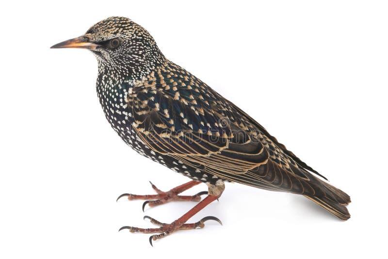 starling стоковое изображение rf