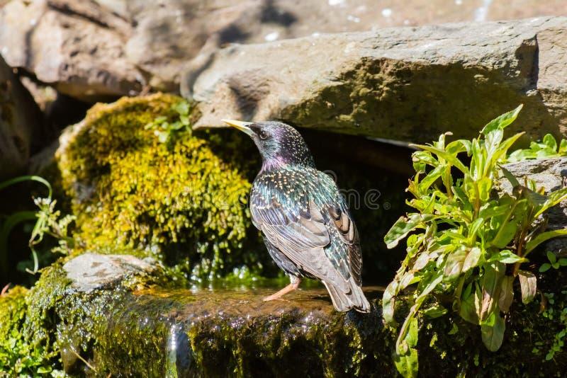 starling fotografia stock