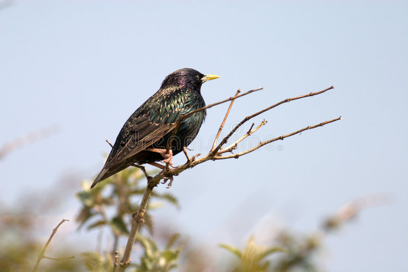 Download Starling stock image. Image of wallpaper, bird, european - 5780827