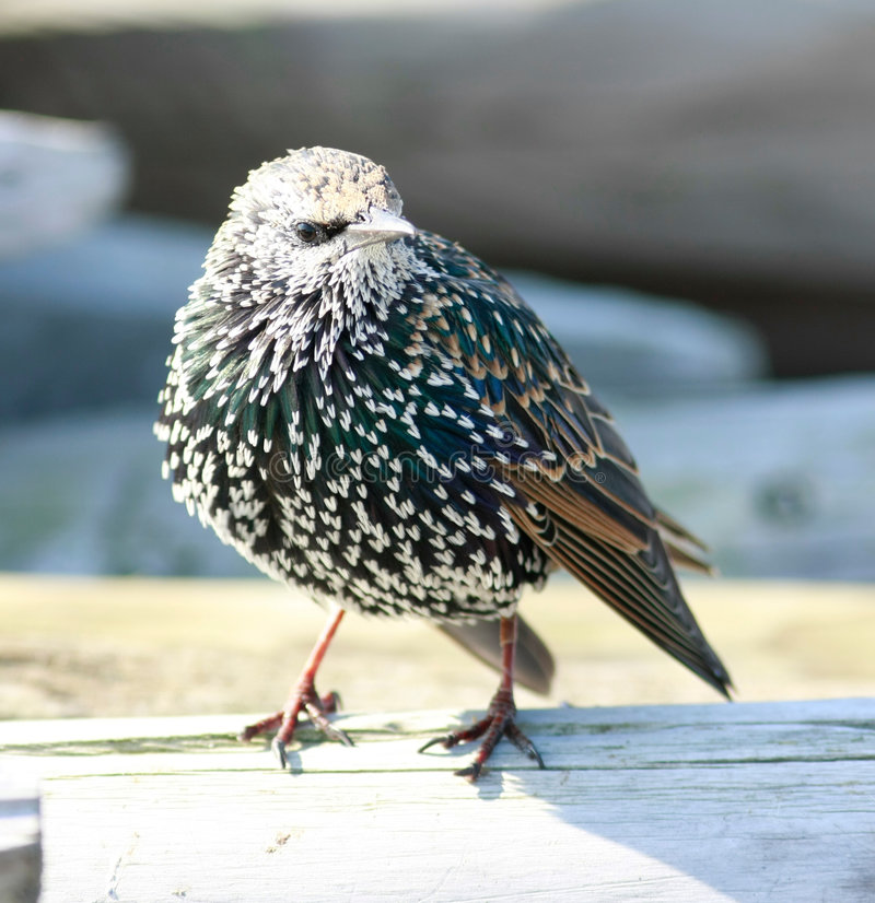 Starling. Bird Starling in autumn (Amsterdam, Holland royalty free stock photography