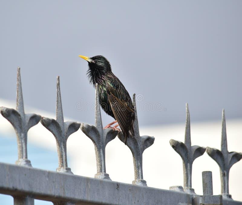starling fotografia stock libera da diritti