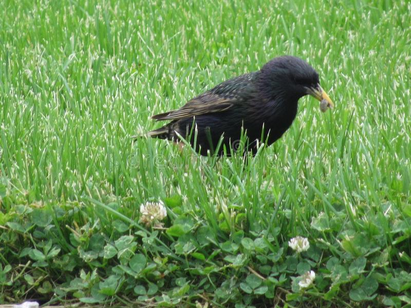 starling image stock