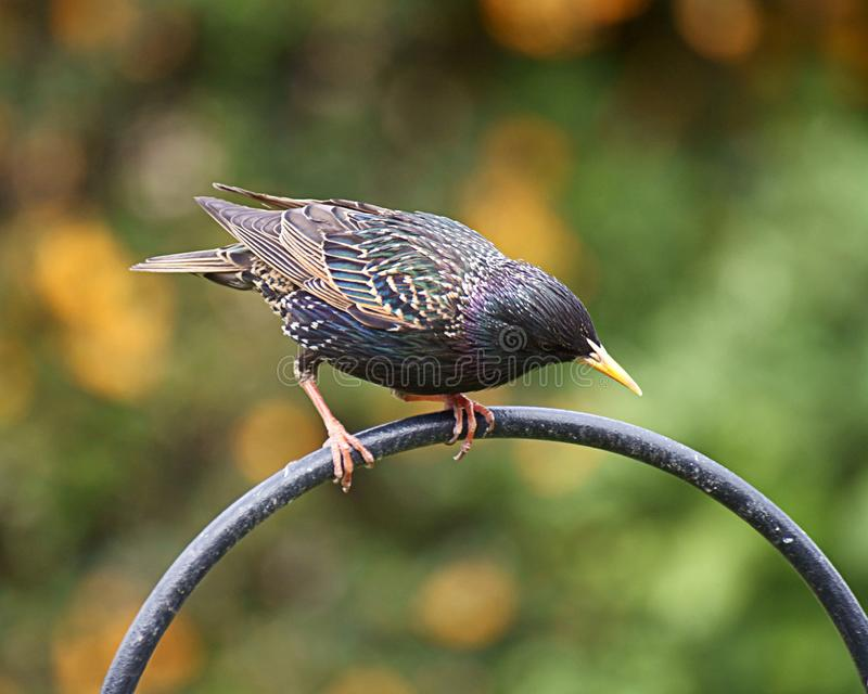 Starling. An adult starling with stunning plumage on show royalty free stock photo