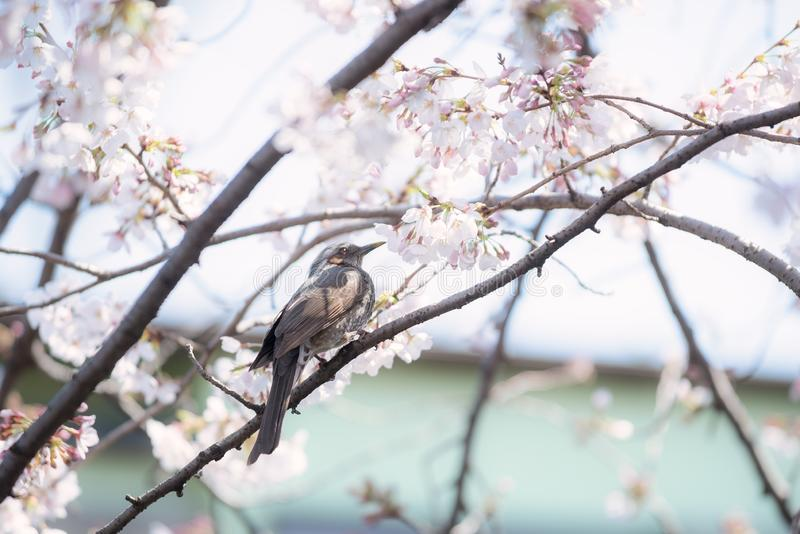 A Starling bird alone in the cherry blossoms in Tokyo. A Starling mukudori bird alone in the cherry blossoms in Tokyo by daytime stock photography