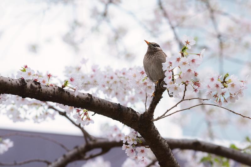 A Starling bird alone in the cherry blossoms in Tokyo. A Starling bird alone in the cherry blossoms surrounded by flowers  in Tokyo royalty free stock image