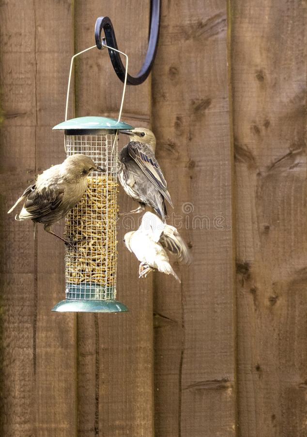 Starling Bird Feeder Meal. Starling birds eat from a bird feeder in a typical garden, in the United Kingdom stock photo
