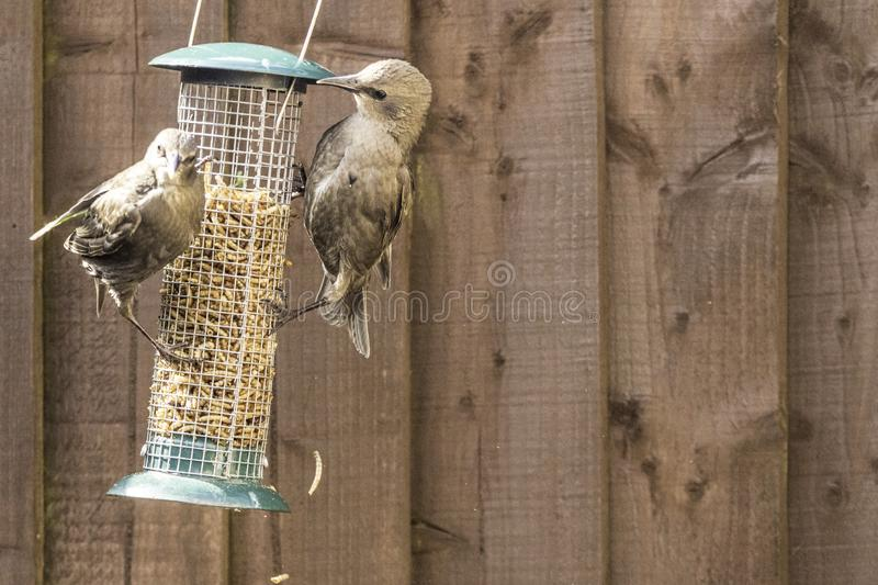 Starling Bird Feeder Meal. Starling birds eat from a bird feeder in a typical garden, in the United Kingdom stock image