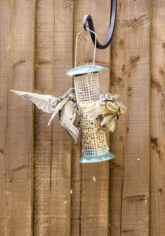 Starling Bird Feeder Meal. Starling birds eat from a bird feeder in a typical garden, in the United Kingdom royalty free stock image