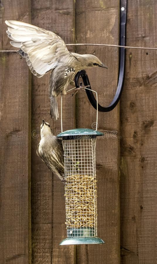Starling Bird Feeder Meal. Starling birds eat from a bird feeder in a typical garden, in the United Kingdom royalty free stock images