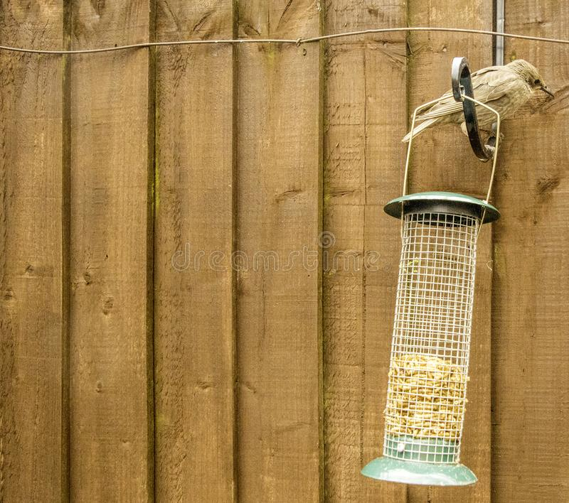 Starling Bird Feeder Meal. Starling birds eat from a bird feeder in a typical garden, in the United Kingdom royalty free stock photo