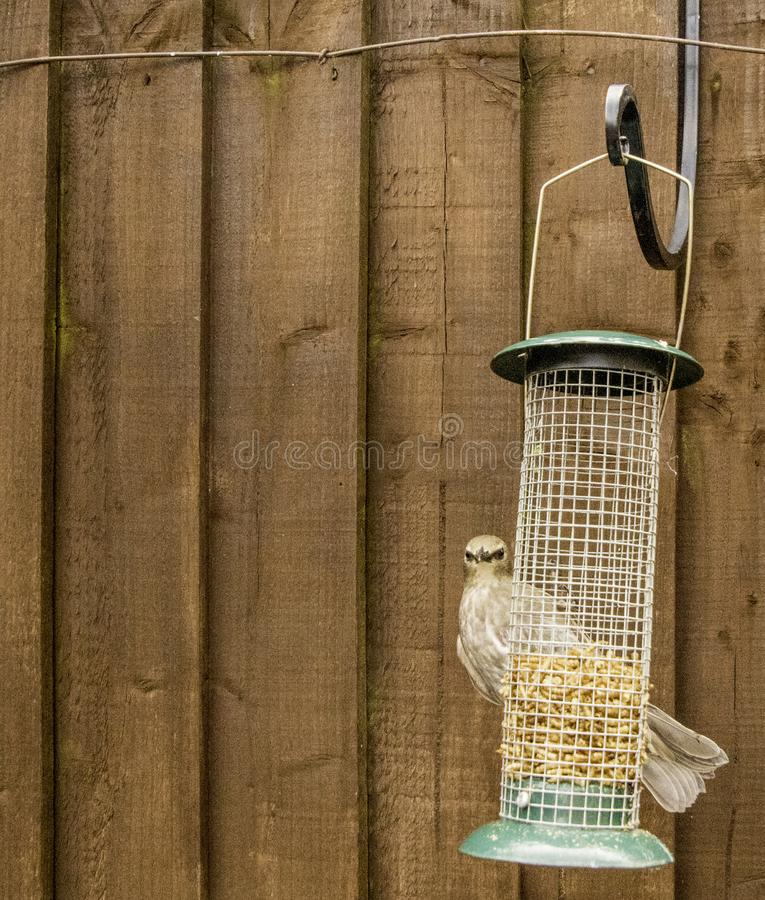 Starling Bird Feeder Meal. Starling birds eat from a bird feeder in a typical garden, in the United Kingdom royalty free stock photography