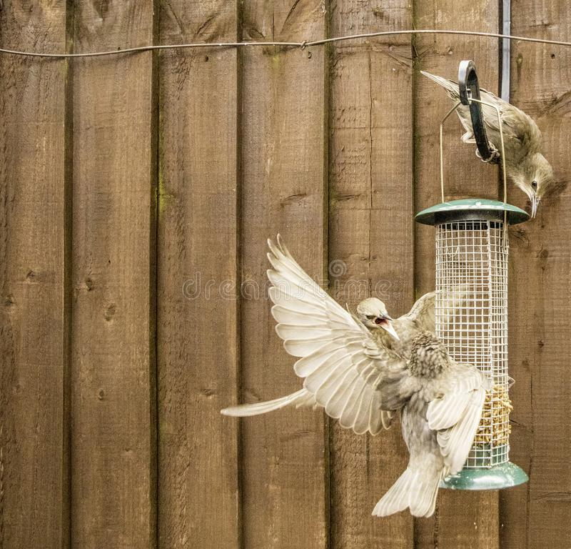 Starling Bird Feeder Meal. Starling birds eat from a bird feeder in a typical garden, in the United Kingdom stock photography