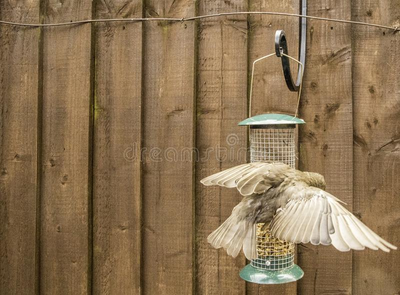 Starling Bird Feeder Meal. Starling birds eat from a bird feeder in a typical garden, in the United Kingdom royalty free stock photos