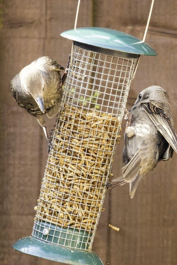 Starling Bird Feeder Meal immagini stock