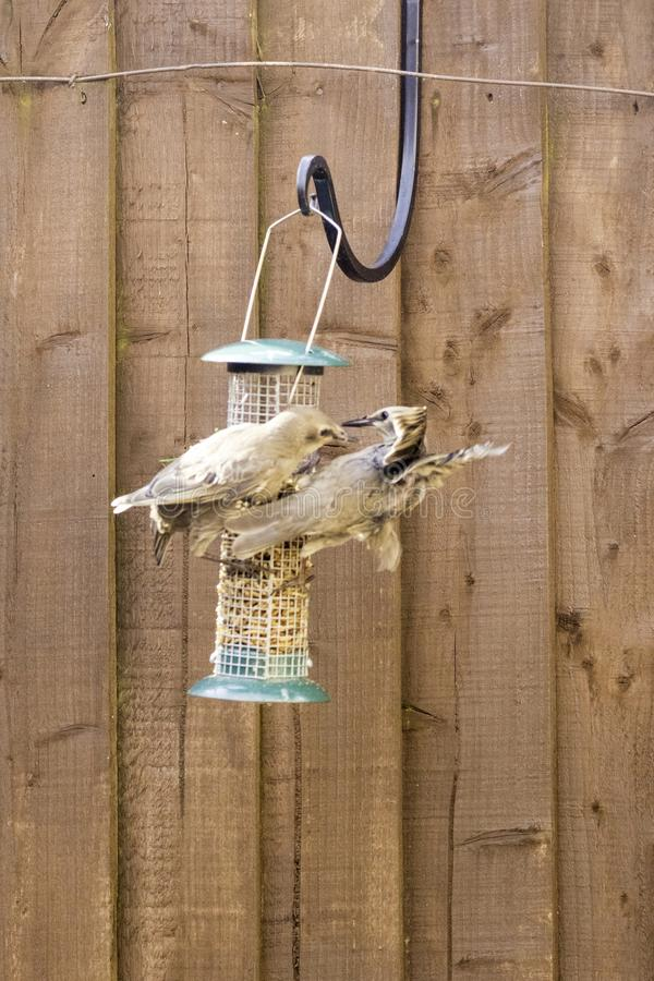 Starling Bird Feeder Meal fotografia stock libera da diritti