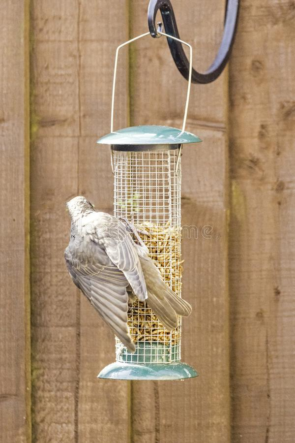 Starling Bird Feeder Meal immagine stock