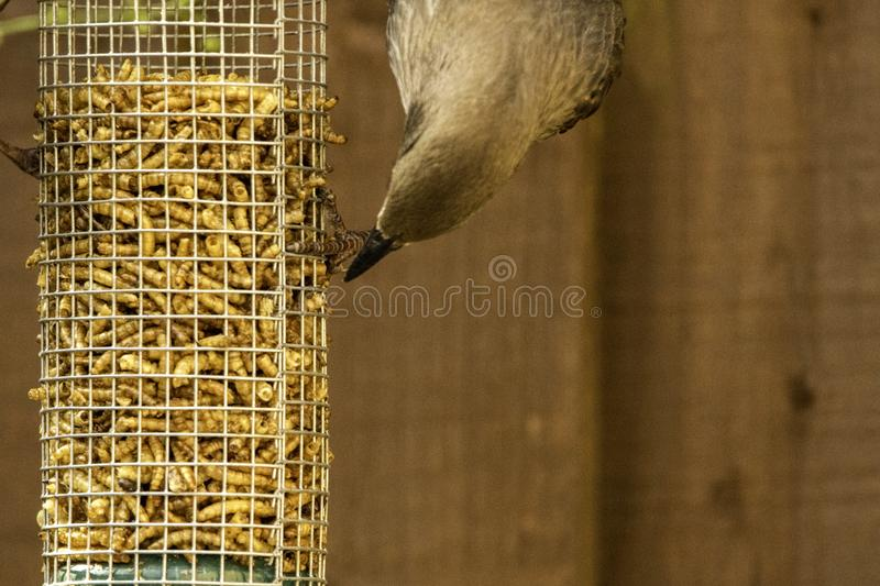 Starling Bird Feeder Meal fotografie stock