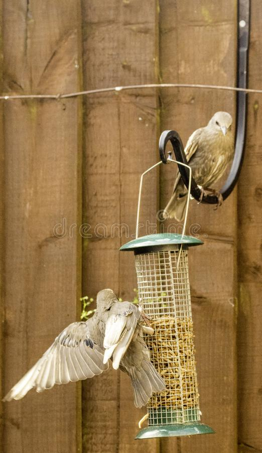Starling Bird Feeder Meal immagini stock