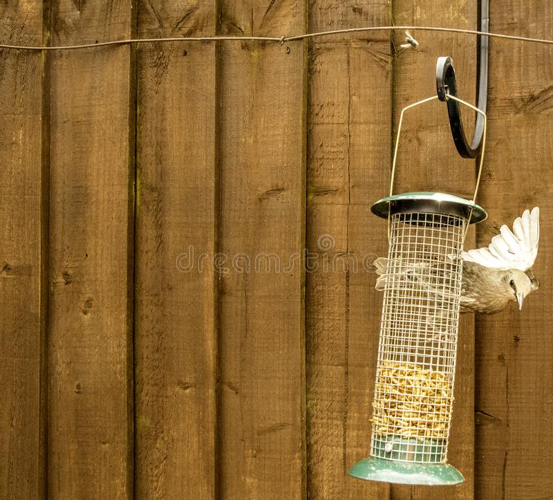 Starling Bird Feeder Meal fotografia stock