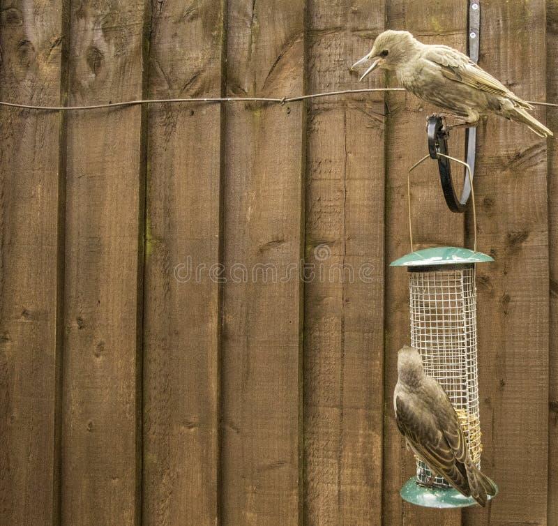 Starling Bird Feeder Meal fotografia stock