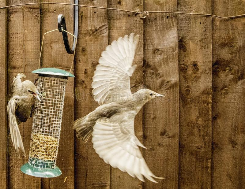 Starling Bird Feeder Meal fotografie stock libere da diritti