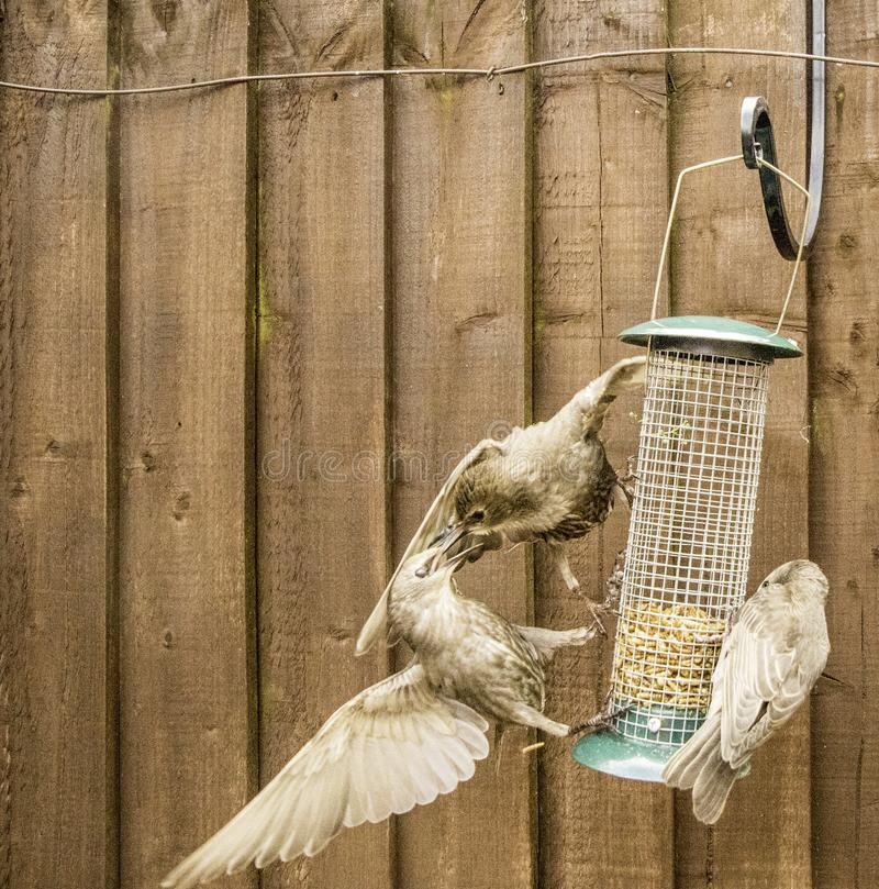 Starling Bird Feeder Meal immagine stock libera da diritti