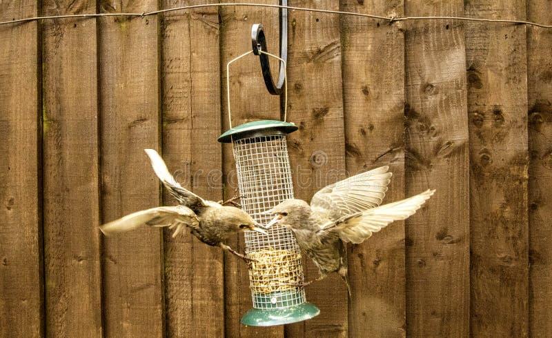 Starling Bird Feeder Meal immagini stock libere da diritti
