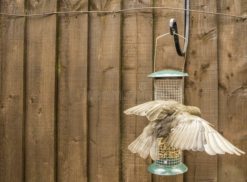 Starling Bird Feeder Meal fotografie stock libere da diritti