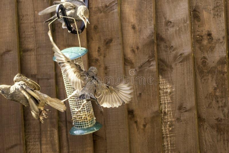 Starling Bird Feeder Meal imagenes de archivo
