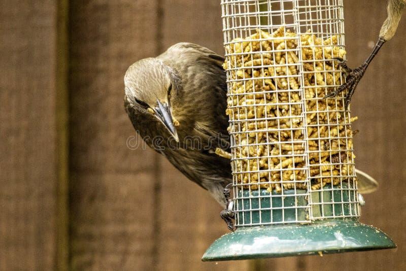 Starling Bird Feeder Meal fotos de archivo libres de regalías