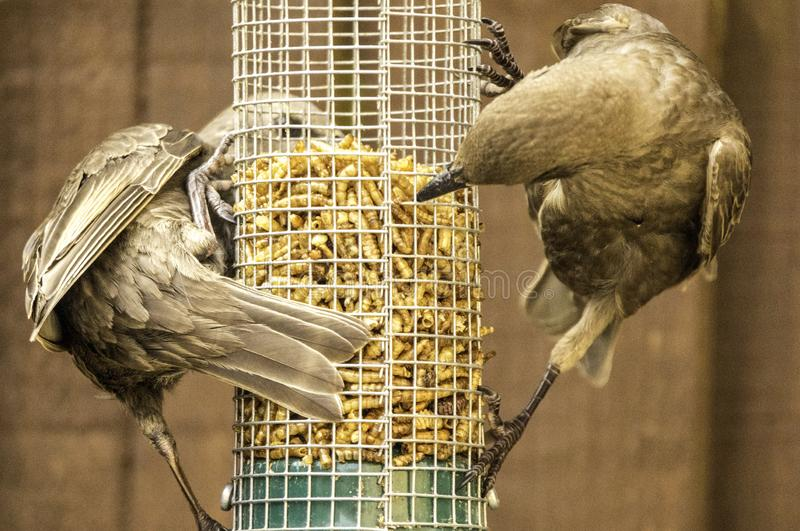 Starling Bird Feeder Meal foto de archivo