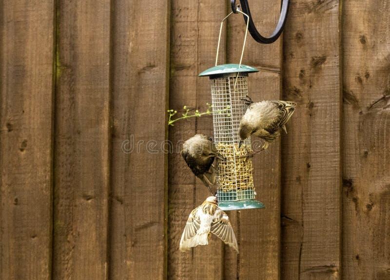 Starling Bird Feeder Meal imagen de archivo libre de regalías