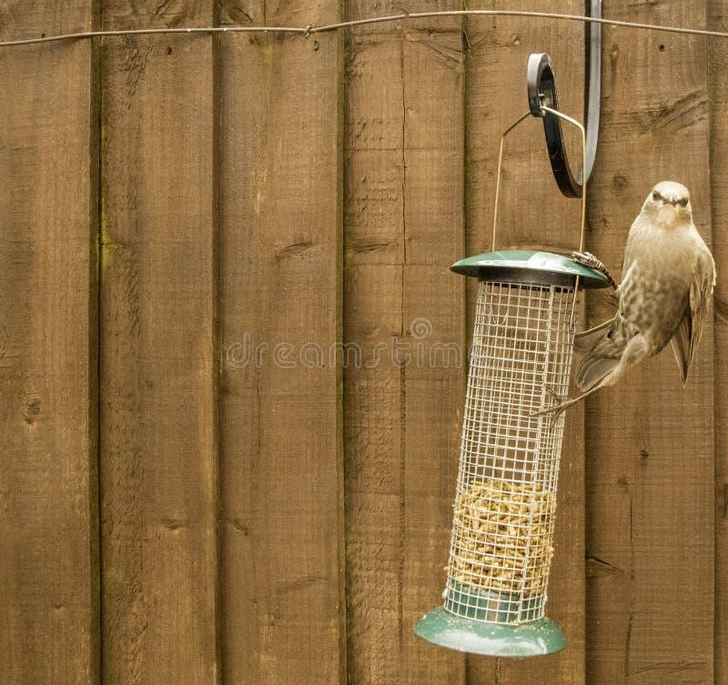 Starling Bird Feeder Meal fotografía de archivo