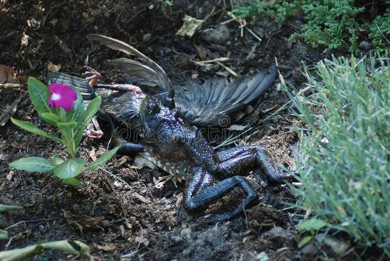 Bull frog trying to eat a starling bird. A starling bird fell in pond, frog caught it and dragged it out attempting to swallow the fighting bird royalty free stock photos