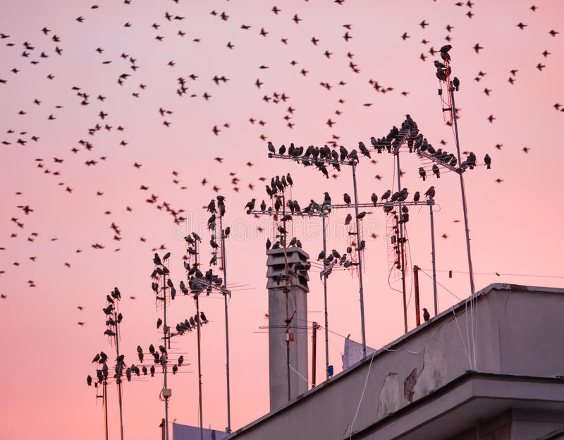 Starling bird flock. Flying and perching in urban environment stock photo