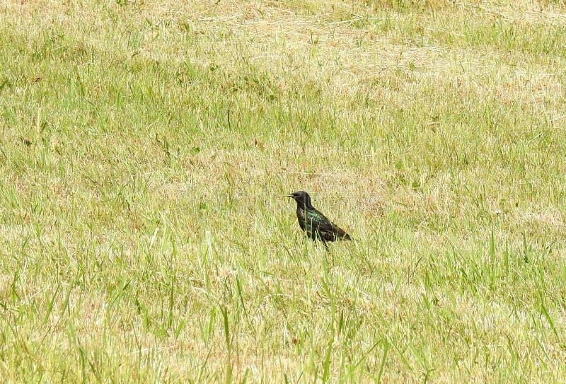 Starling bird on green grass, Lithuania. One beautiful starling bird in field stock photo