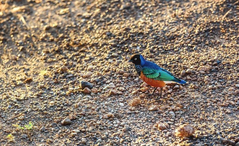 Starling Bird magnífico, Kenya foto de stock royalty free