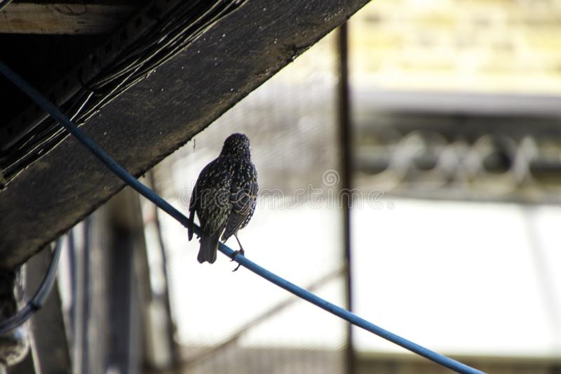 Starling. A Starling bird sitting on top of a cable under shelter stock photo