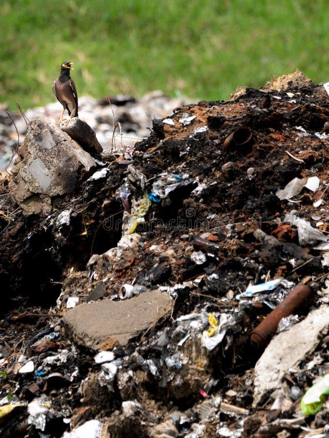 Starling Bird Standing et ouvert la bouche sur des déchets images stock