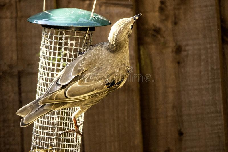 Starling Bird Feeder Meal. Starling birds eat from a bird feeder in a typical garden, in the United Kingdom stock images