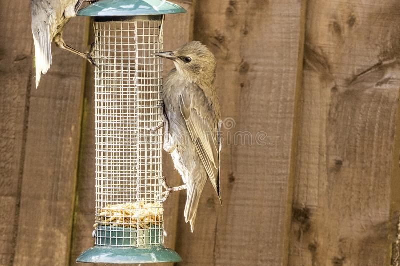 Starling Bird Feeder Meal. Starling birds eat from a bird feeder in a typical garden, in the United Kingdom stock photos