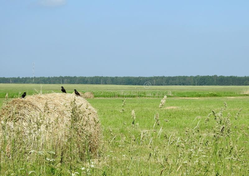Starling birds on hay ball in field, Lithuania royalty free stock photography