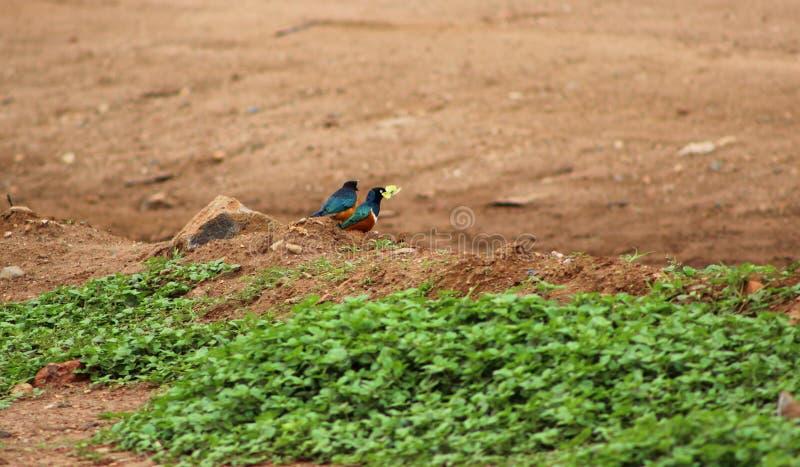 Starling Birds superbo immagini stock libere da diritti