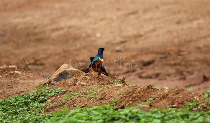 Starling Birds superbo fotografie stock libere da diritti