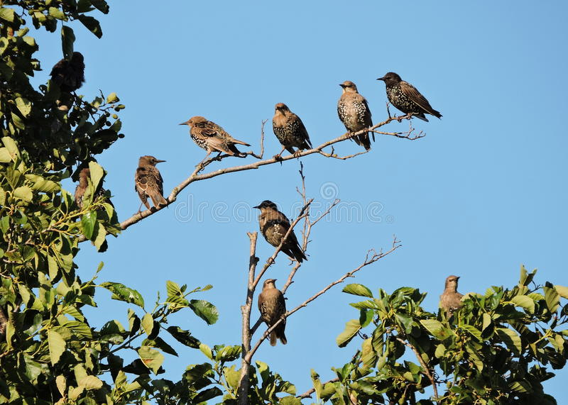 Starling birds on tree branches. In summer, Lithuania stock photography