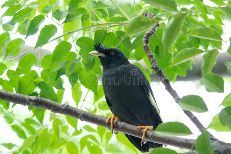 Starling. A black starling stands on tree branch royalty free stock photography