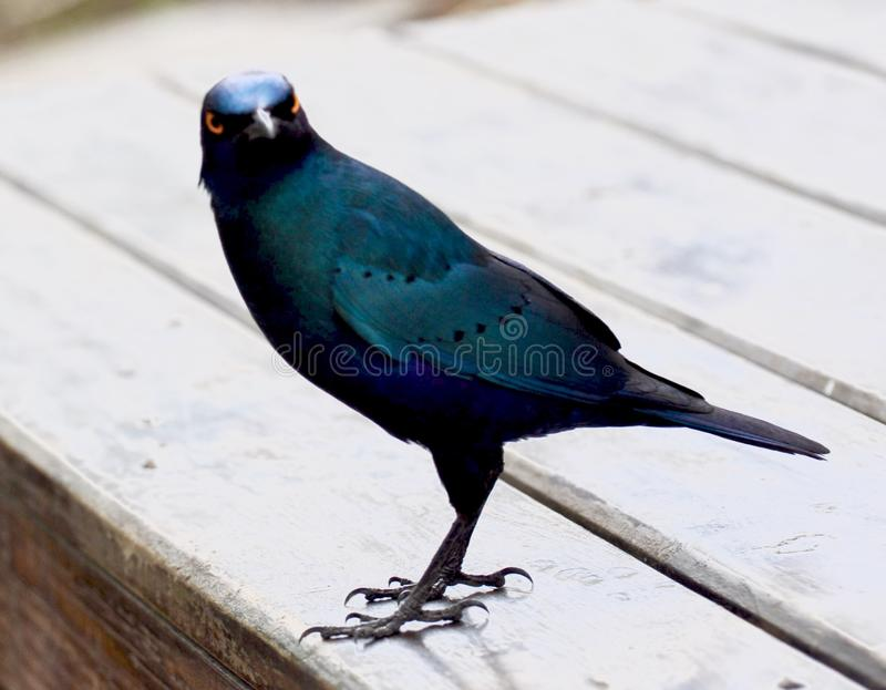 Download Starling stock image. Image of africa, starling, krugers - 88359837